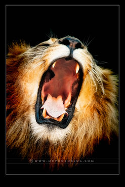 The Lion's Roar!