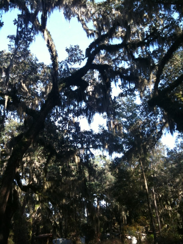 Fuzzy iPhone picture of beautifully dramatic oak trees, garlanded with Spanish moss, at Marywood Retreat Center